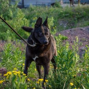 Brown Schipperke – A Cute Family Dog