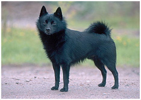 The Blue Schipperke