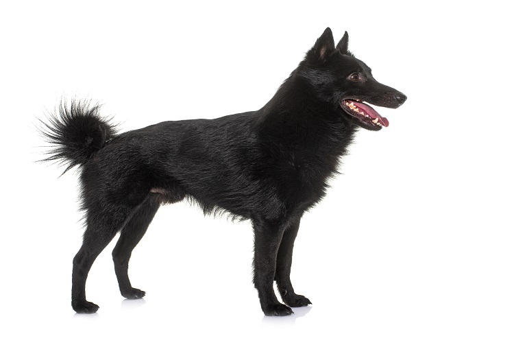 What Is The Price Of a Schipperke?